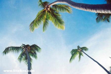 Bavaro Beach Palm