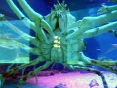 Kaiyukan Aquarium: Spider Crab