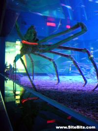 Kaiyukan Aquarium: Spider Cra