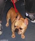 Westminster Dog Show: French Bulldog