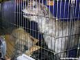 Westminster Dog Show: Irish Wolfhounds